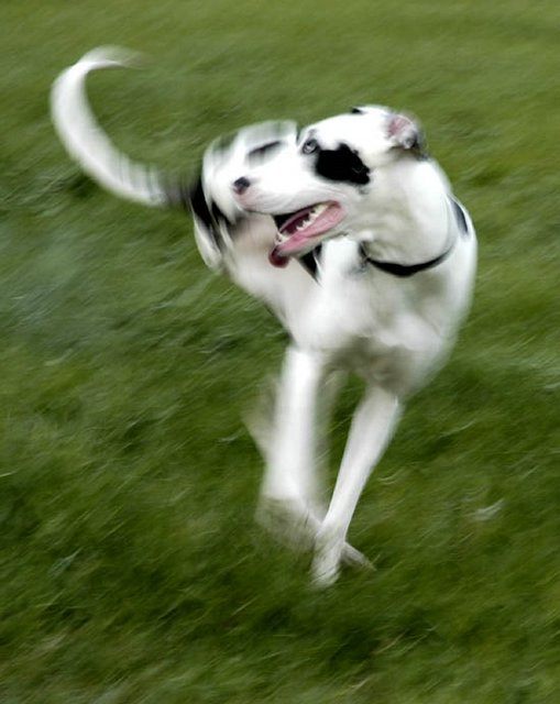 Dog pivoting in mid-air